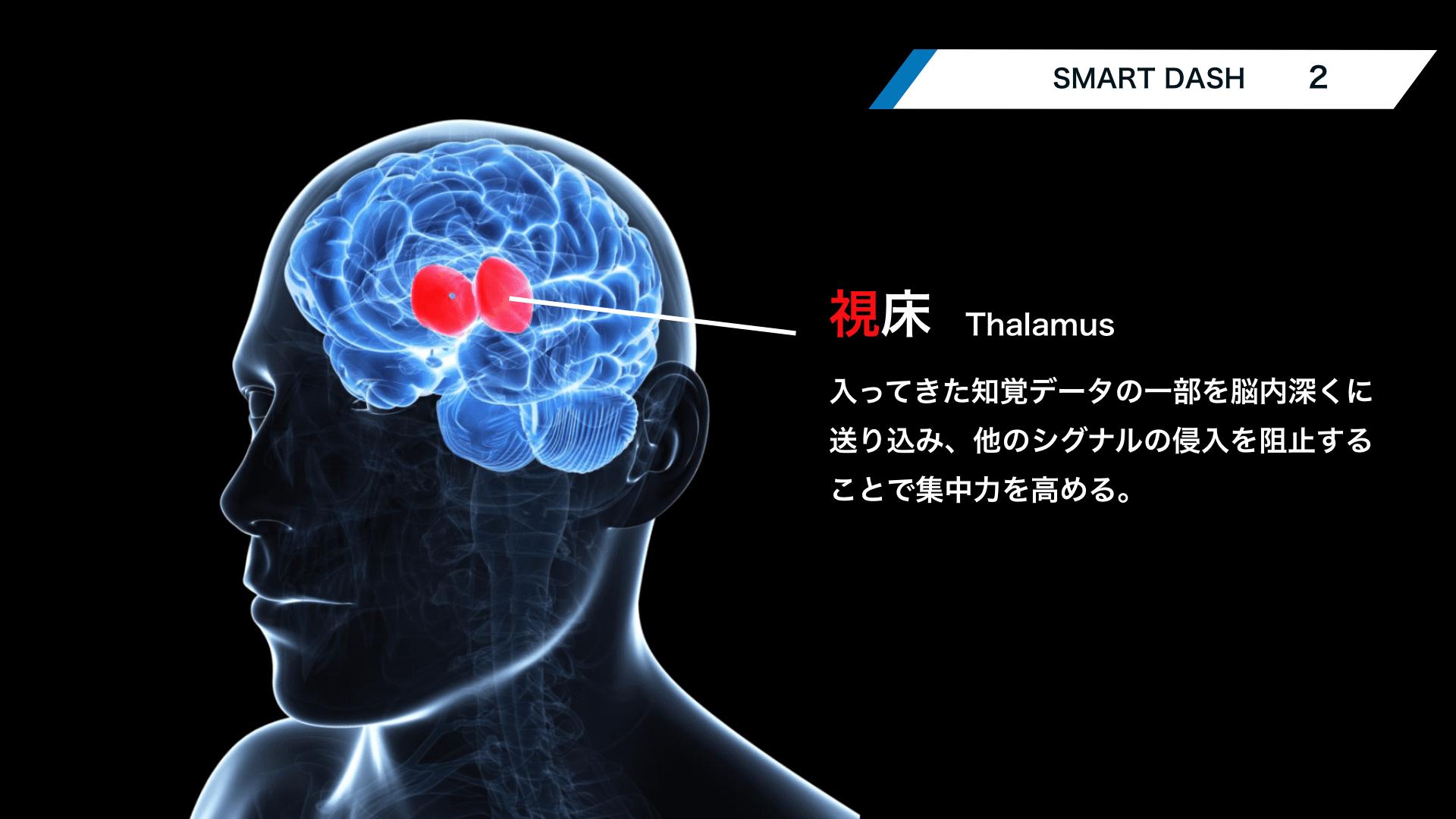 Thalamus-2